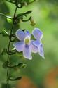ดอกไม้เทศและดอกไม้ไทย  ต้น 53.สร้อยอินทนิล