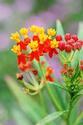 ดอกไม้เทศและดอกไม้ไทย ต้น 123 ไฟเดือนห้า
