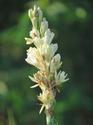ดอกไม้เทศและดอกไม้ไทย  ต้น 107.ซ่อนกลิ่น