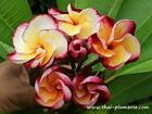 "Plumeria ""KRIT DELIGHT"" grafted plant"