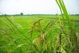 สถานการณ์ราคาผลผลิตทางการเกษตรและแนวโน้มปี 2557
