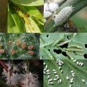 กรดอินทรีย์คุมเชื้อราฆ่าเชื้อโรค  ขับไล่เพลี้ย หนอน แมลง ปลอดภัย ปลอดสารเคมี