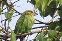 นกโพระดกหูเขียว