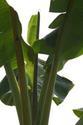 กล้วยท้อง สังเกตอย่างไร