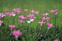 ดอกไม้เทศและดอกไม้ไทย  ต้น 55.บัวดิน