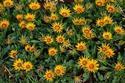 ดอกไท้เทศและดอกไม้ไทย  ต้น 70.กาซาเนีย