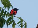 นกพญาไฟใหญ่ ตัวผู้  นกเสื้อแดง          โดยมณี บันลือ     เรื่อง-ภาพ-ธงชัย เปาอินทร์