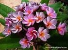 "Plumeria ""VIOLET QUEEN"" grafted plant"