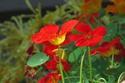 ดอกไม้เทศและดอกไม้ไทย  ต้น87.แนสเตอร์เตียม