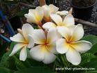 "Dwarf Plumeria ""TOR SANG"" grafted plant"