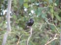นกยอดหญ้าสีดำหรือนกขี้หมา โดยธงชัย เปาอินทร์ เรื่อง-ภาพ
