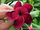 "Plumeria ""BLACK TIGER"" grafted plant"