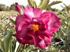 """Rosy Adenium Obesum (Desert Rose) """"Violet Rose"""" Grafted Plant"""