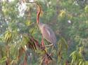 นกกระสาแดง :นกประจำถิ่นพบเห็นยาก  โดยธงชัย เปาอินทร์ เรื่อง-ภาพ