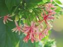 ดอกไม้เทศและดอกไม้ไทย ต้น26. เล็บมือนาง(2)