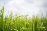 พันธุ์ข้าวที่ใช้ในการผลิตแป้งหมักขนมจีน