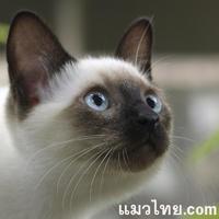 ลูกๆของแมววิเชียรมาศที่รับจากแมวไทย.com