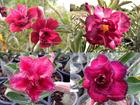 4 Adenium Obesum Plants SET no.7 + shipping
