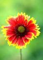 ดอกไม้เทศและดอกไม้ไทย  ต้น76.เดือนฉาย