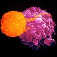 เซลล์เพชรฆาต NK Cells (Natural Killer Cells)