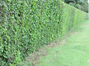 รั้วสีเขียว  โดยป่าน ศรนารายณ์ เรื่อง-ภาพ