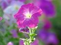 ดอกไม้เทศและดอกไม้ไทย  ต้น 113. พีทูเนีย