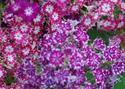 ดอกไม้เทศและดอกไม้ไทย  ต้น 46 ฟล็อกซ์