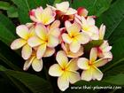 "Plumeria ""PUANG HYOK"" grafted plant"