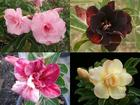 4 Adenium Obesum Plants SET no.5 + shipping