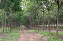 คิดสั้น คิดเขลา คิดตัดสวนยางพาราจากป่าสงวนแห่งชาติ