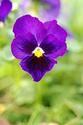 ดอกไม้เทศและดอกไม้ไทย  ต้น 119 แพนซี
