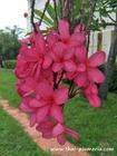 "Plumeria ""AMAZON PINK"" grafted plant"