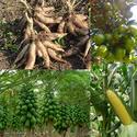 ดีต่อพืชหัว ใบและผล พืชหัว ใบและผลทุกๆชนิด ใหญ่ มีน้ำหนัก หัวหอม กระเทียม  เผือก มันเทศ มันสำปะหลัง ข่า ขิง มันแกว และพืชหัวทุกๆชนิด สมบรูณ์  ผลผลิตคุณภาพสูง
