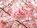 เทศกาลซากุระ กรุงโตเกียว  5 วัน 3 คืน  เดินทาง 26-30 มีนาคม 57 / 29 มีนาคม - 2 เมษายน / 2 - 6 , 5 - 9  เมษายน 57  อาหาร/ที่พัก ระดับ 5 ดาว เพียงท่านละ 51,900 บาท  (จองภายใน 20 กุมภาพันธ์ 57 ลดทันที่ 1,000 บาท)