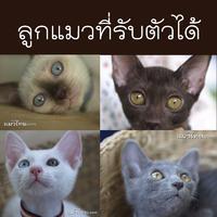ลูกแมวที่รับตัวได้และเปิดจอง