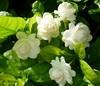 ขายหัวน้ำหอมกลิ่นมะลิกลิ่นดอกมะลิ  ขายน้ำหอมกลิ่นมะลิกลิ่นดอกมะลิ Sell jasmine fragrance