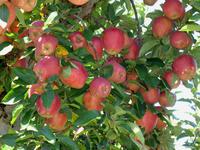 การใส่ปุ๋ยแอปเปิ้ล