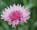 ดอกไม้เทศและดอกไม้ไทย  ต้น 80.คอร์นฟลาวเวอร์