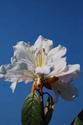 ดอกไม้เทศและดอกไม้ไทย  ต้น 45.ดอกสามสี