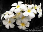 "Plumeria ""SINGAPORE WHITE"" grafted plant"