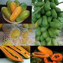 มะละกอเงินล้าน มะละกอขายผลดิบได้ มะละกอขายผลสุกได้