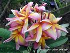 "Plumeria ""RAINBOW STAR BURST"" grafted plant"