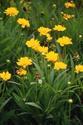 ดอกไม้เทศและดอกไม้ไทย  ต้น 82.โคริออฟซิส