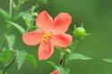 ดอกไม้เทศและดอกไม้ไทย  ต้น65.ชบาจิ๋ว