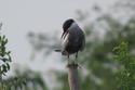 นกนางนวลแกลบเคราขาว