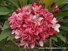 """Plumeria """"KIMI MORAGNE"""" grafted plant"""
