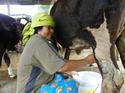 วัวนม: ทางเลือกทางรอดเกษตรกรไทย     โดยธงชัย เปาอินทร์ เรื่อง-ภาพ