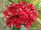 """Plumeria """"BANGKOK FIRE"""" grafted plant"""