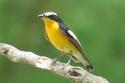 นกจับแมลงตะโพกเหลือง