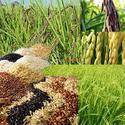 สภาวะอากาศโลกแปรปรวนทำให้กลุ่มเชื้อโรคระบาดในนาข้าวอย่างต่อเนื่อง กรดอินทรีย์ควบคุมได้